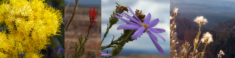 Wildflowers of Bryce Canyon.