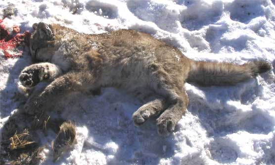 Dead Mountain Lion Kitten illegally slain inside park boundaries