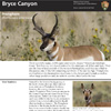 pronghorn-thumb