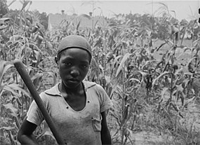 African American child standing in corn field.
