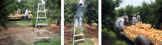 Three images from Nuestras Nistorias exhibit: a ladder standing in an orchard with men working in the background, a man standing on the ladder in the orchard picking fruit, and four men standing around a wagon loaded with fruit.