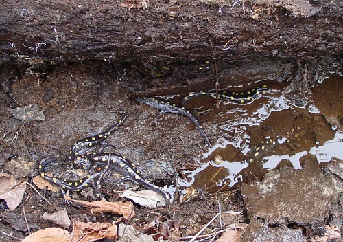 color photo of black salamanders with yellow spots on rocks amongst leaf litter
