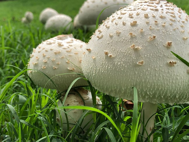 False Parasol Mushrooms