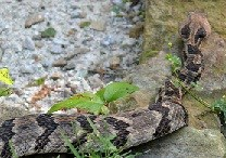 color photo of Timber Rattlesnake