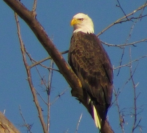 color photo of adult bald eagle perched on tree limb with background of cloudless blue sky