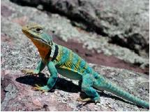 color photo of collared lizard on rock