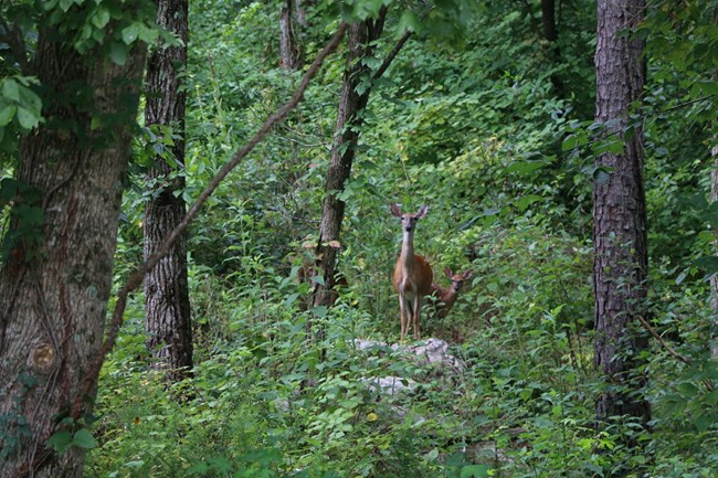 A doe and her fawn in the forest.