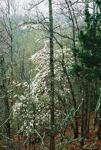 color photo of white blooming dogwoods in a gloomy forest