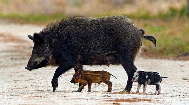 Black sow with 1 black & white spotted piglet and 1 tan & brown striped piglet