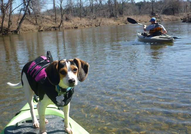Beagle riding on kayak