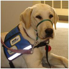 Picture of yellow labrador retriever with harness indicating working status.