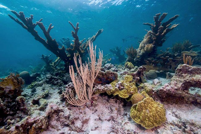 underwater photograph of corals at Buck Island