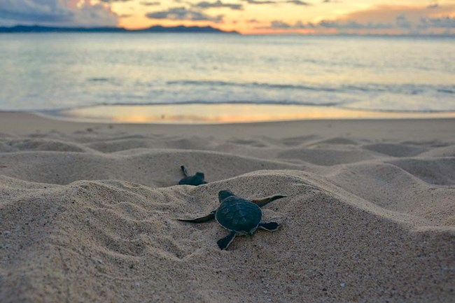 green sea turtle hatchling scampering toward shore at sunrise