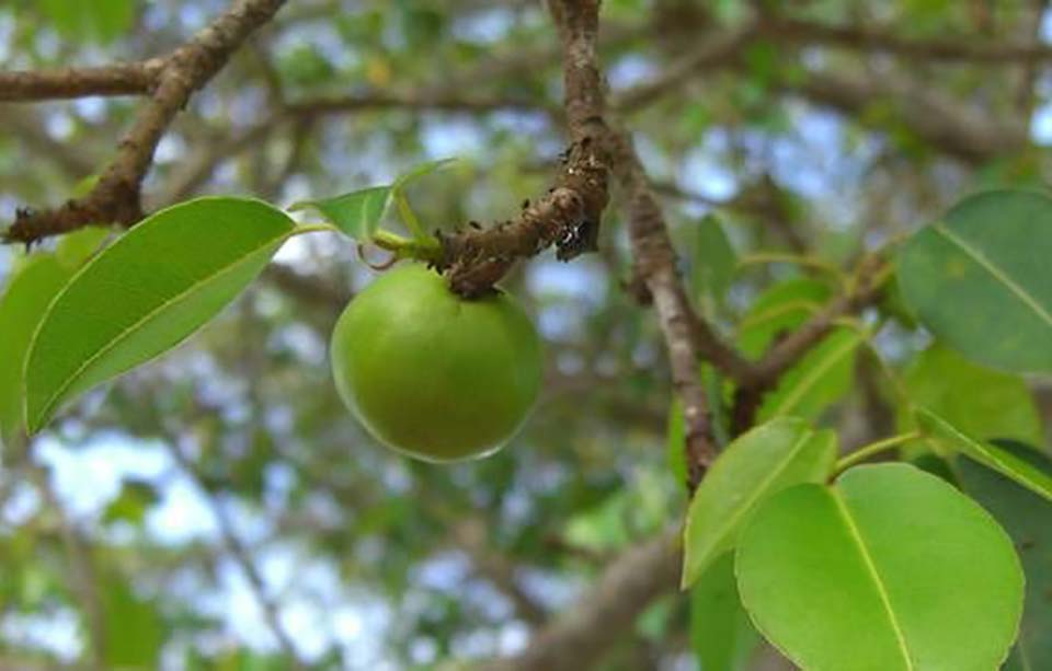 Photograph of a poisonous manchineel apple