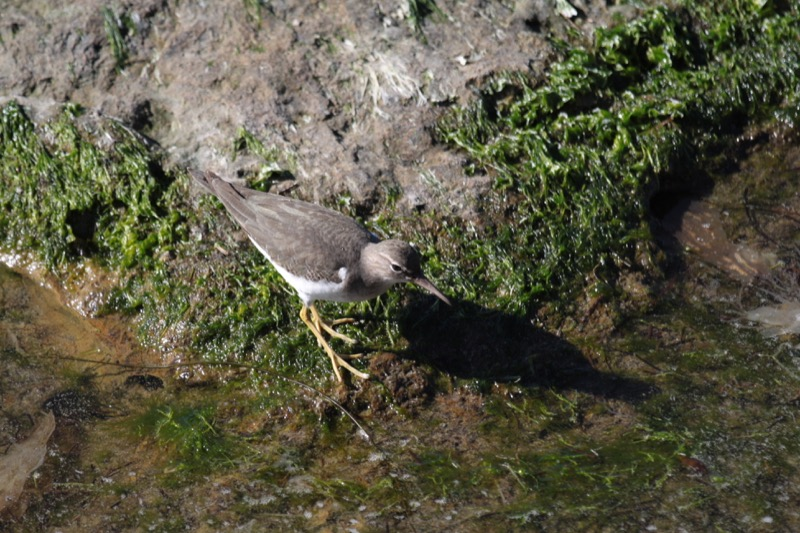 A Wandering Tattler (Tringa incana) foraging at a tide pool