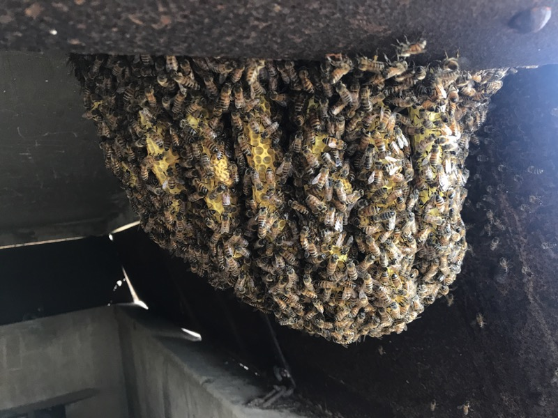 Large bee hive hanging from WWII bunker