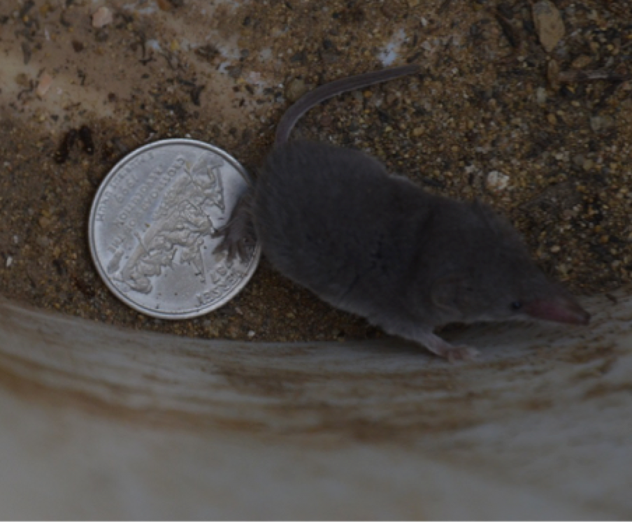 The adult desert shrew with a quarter for size comparison