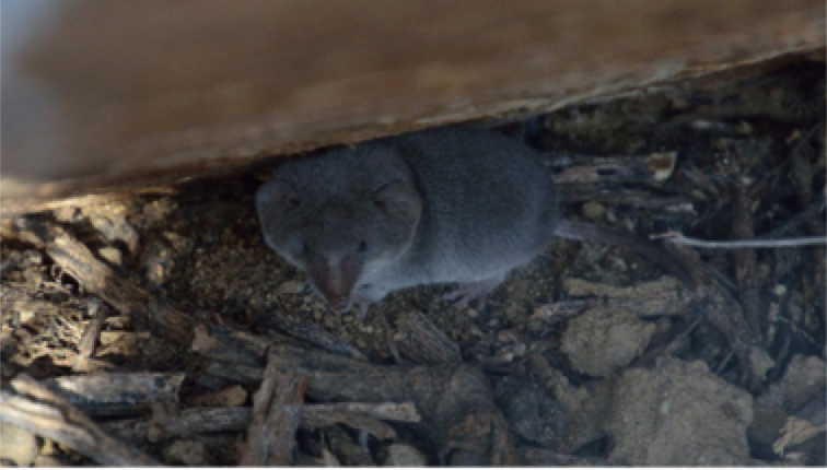 A desert shrew found at Cabrillo National Monument