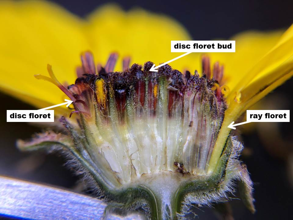 A cross-section view of the Encelia californica flower head with the ray floret, disc floret, and disc floret bud labeled.