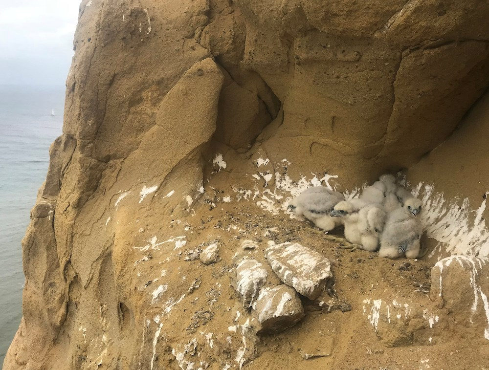 Four Peregrine chicks at their nest ledge overlooking the ocean