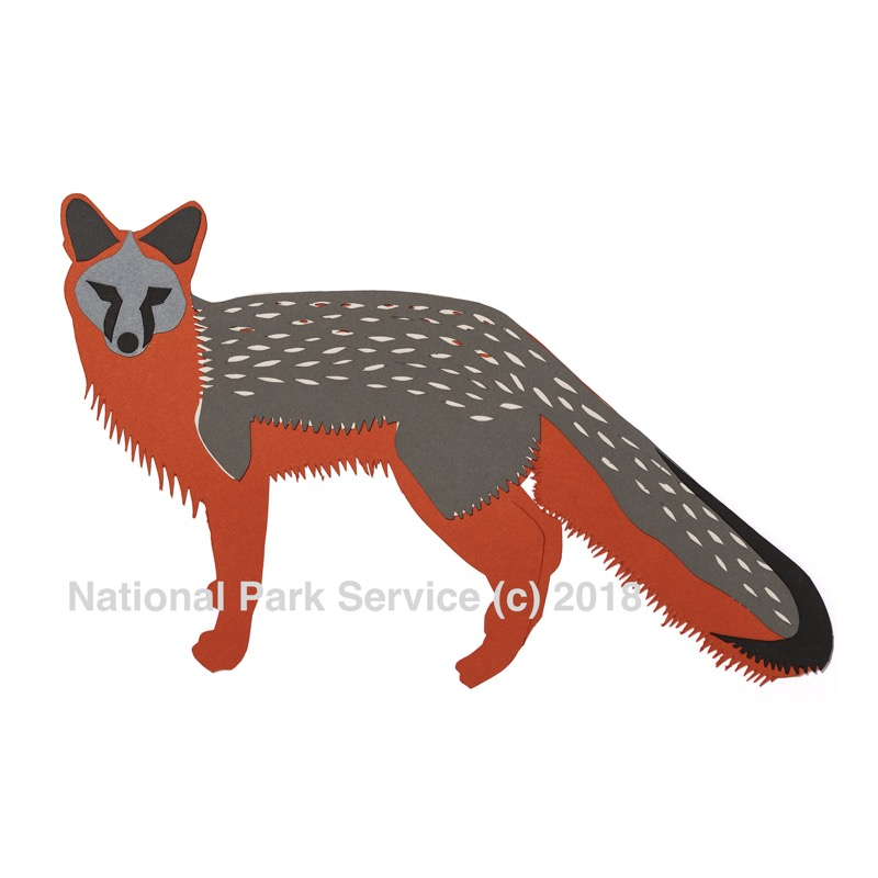 Grey foxes are stealthy, agile predators which play a small but important role in the ecosystem.