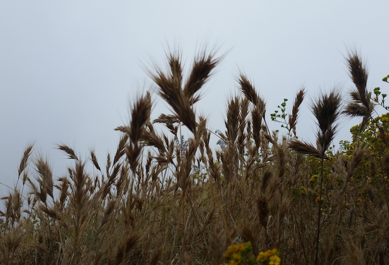 Photo of Foxtail invasive weed