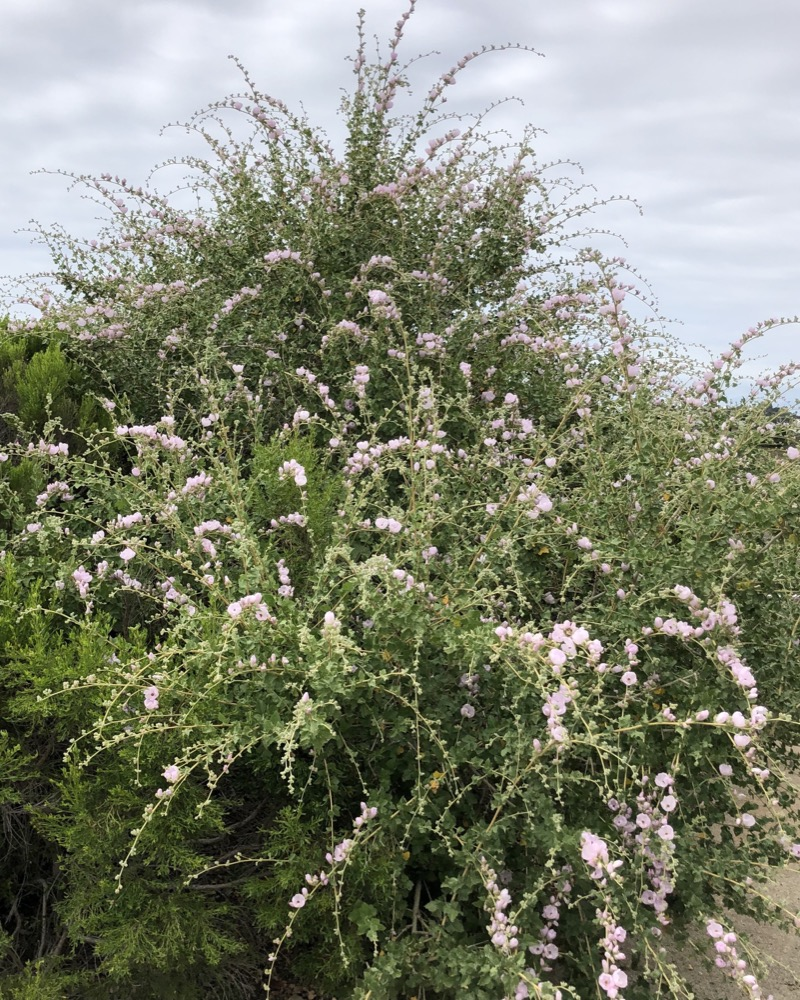 A view of a large Coastal Bushmallow coming into bloom with clusters of blooms observable on many of the stems.