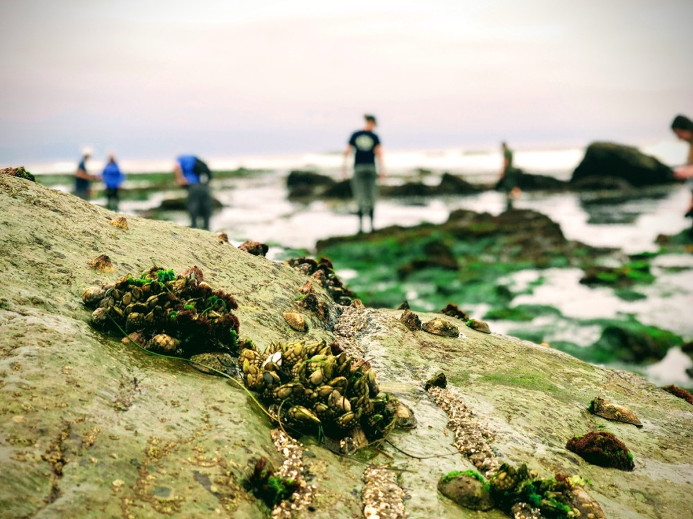 Species of limpets, barnacles and anemones cover the rock while the Cabrillo Team surveys more biodiversity in the rocky intertidal.