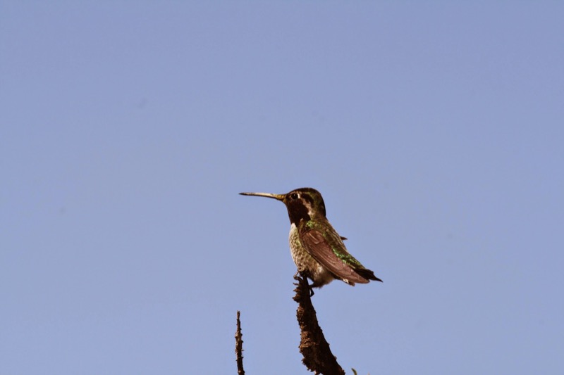 A tiny Anna's hummingbird perches on the tips of the Agave.