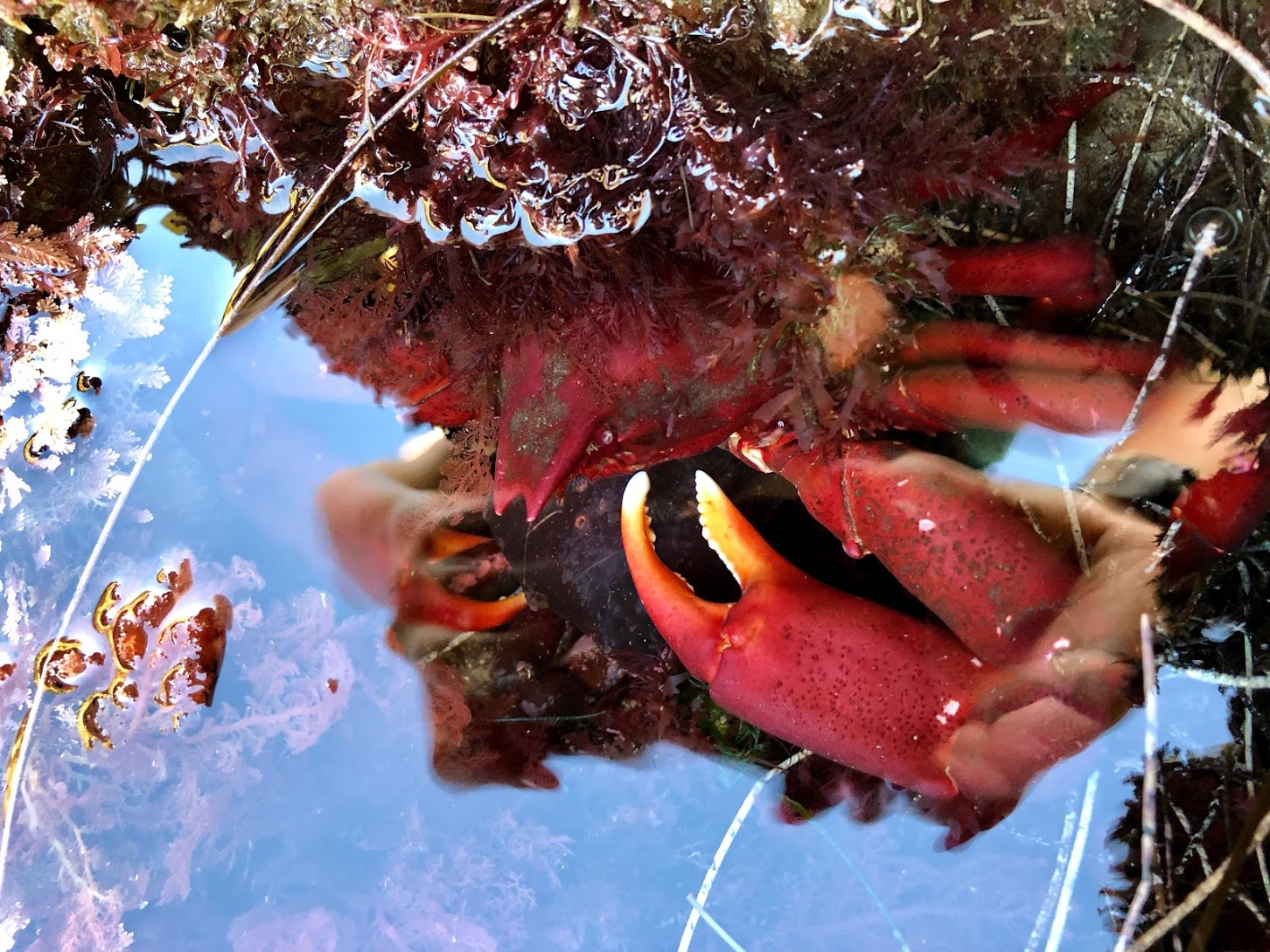 Globose Kelp Crab hiding under a rocky outcrop