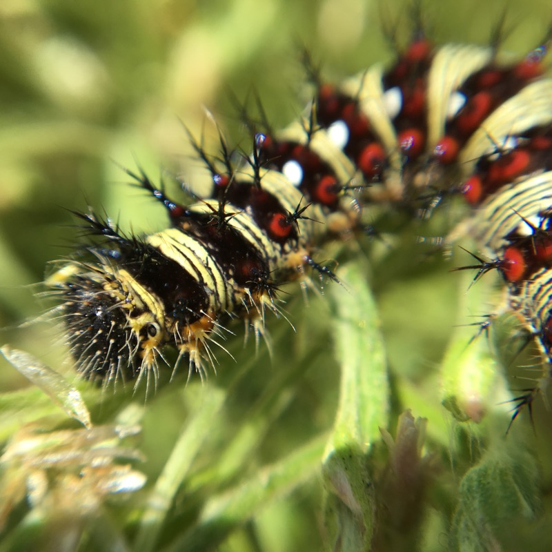 Photo showing Bright larvae of the American Lady butterfly