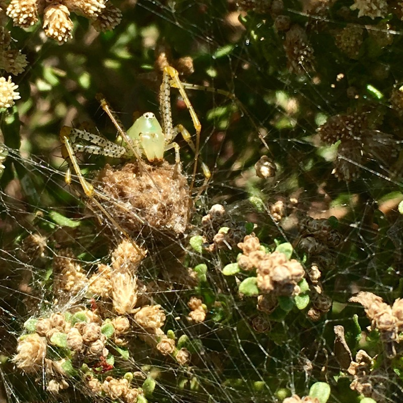 A green lynx spider guarding her eggs.