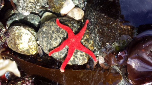 Bright Red Dermasterias imbricata sea star on the rocky reef