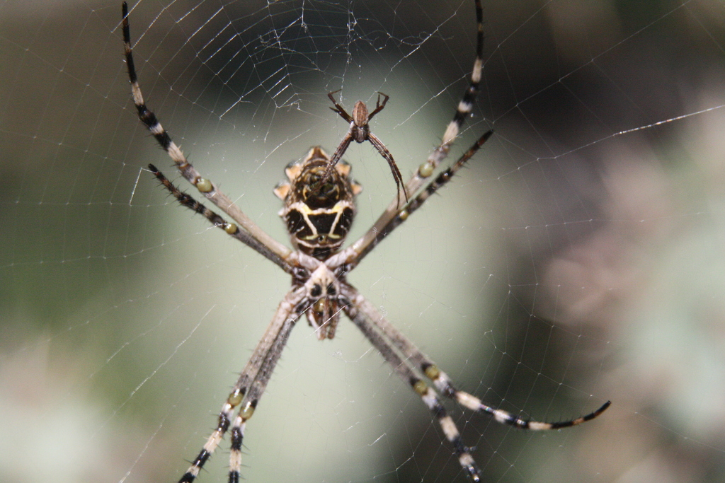 A large female Silver Argiope spider (Argiope argentata) alongside a smaller male of the same species