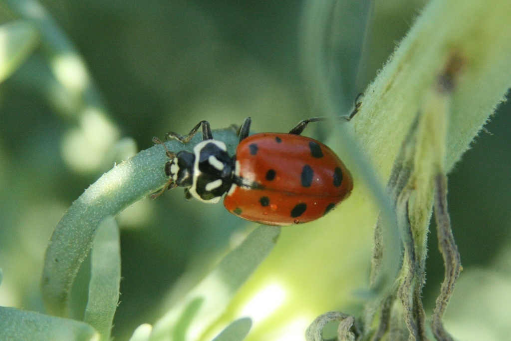 A Convergent Lady Beetle (Hippodamia convergens), one of two lady beetle species native to Cabrillo National Monument.