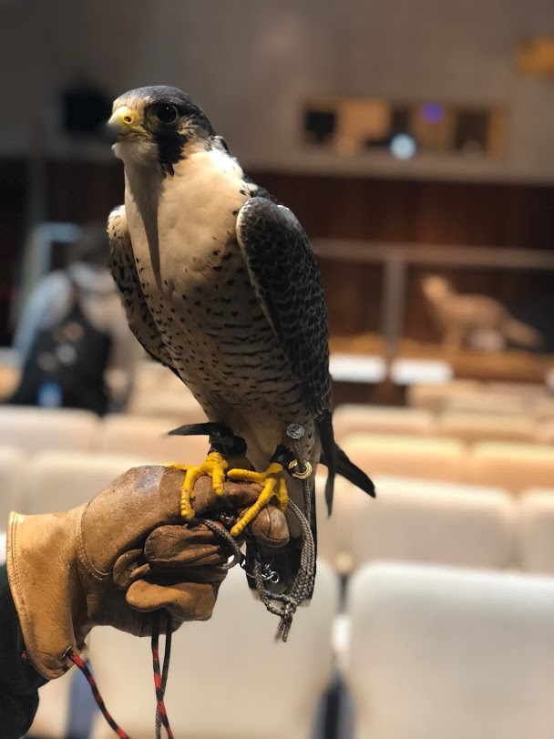 A trained Peregrine Falcon greets visitors in the Cabrillo Auditorium following Charles Gailband's lecture.