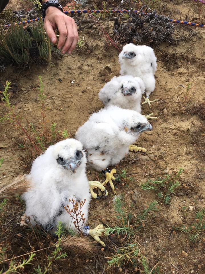 Four Peregrine hatchlings pose for the camera on banding day last season (2017) at Cabrillo.