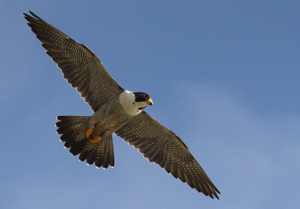 A male Peregrine Falcon soars through the air at Cabrillo National Monument.