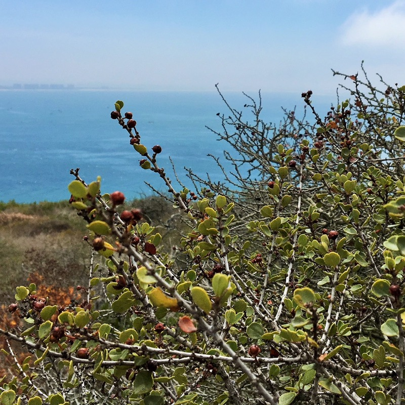 A view of a Ceanothus verrucosus that is overlooking the entrance to San Diego Bay.