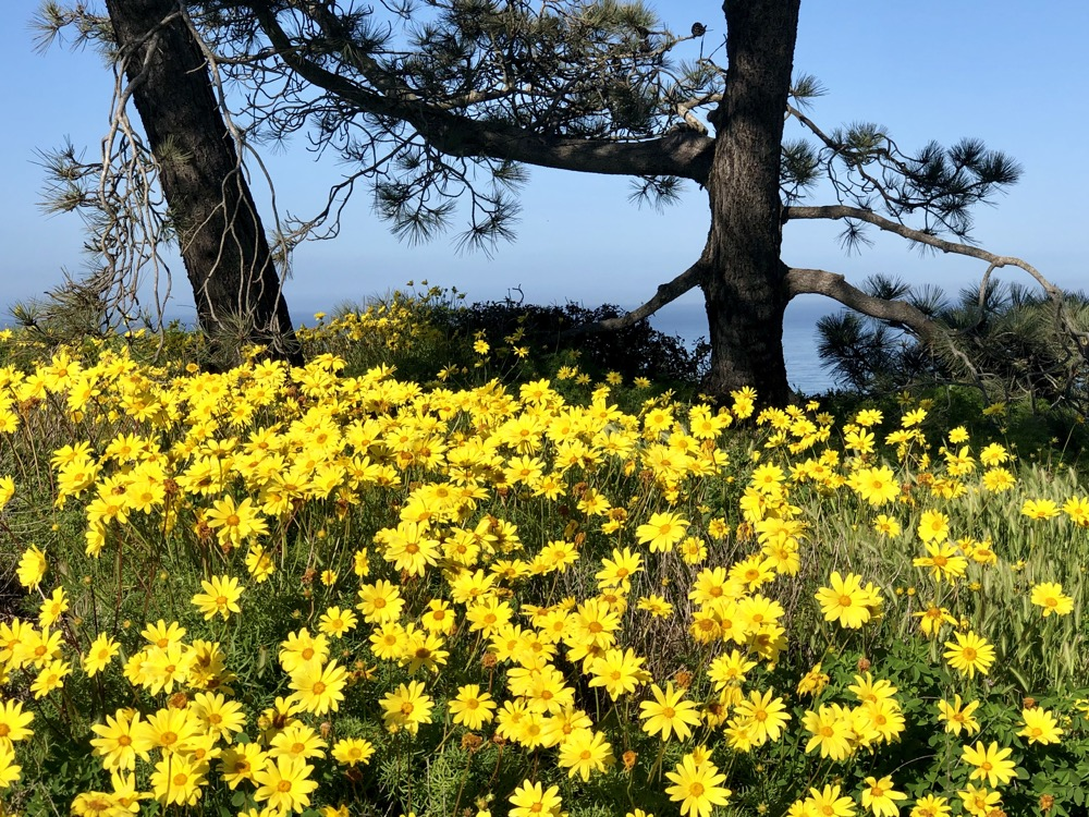 A group of Sea Dahlia take in the sun under the watchful eye of the Torrey Pines behind them.