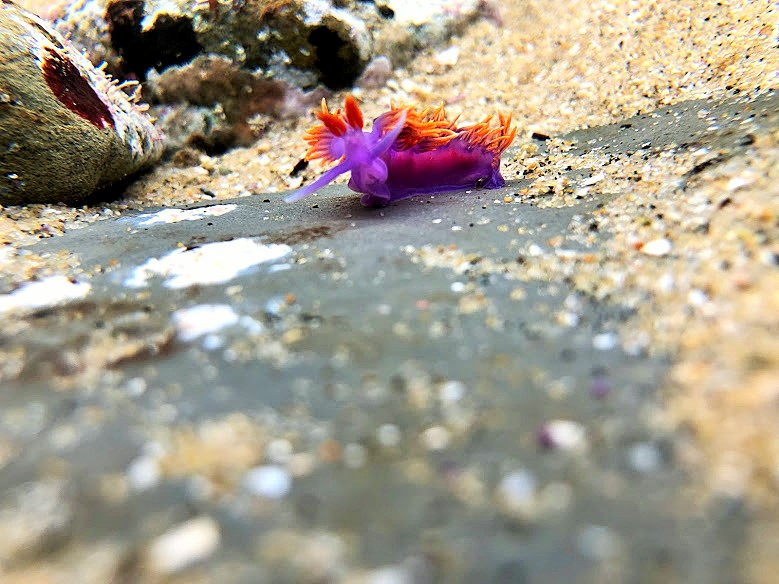Spanish Shawl nudibranch crawls around on the rocky bottom of the tidepools.