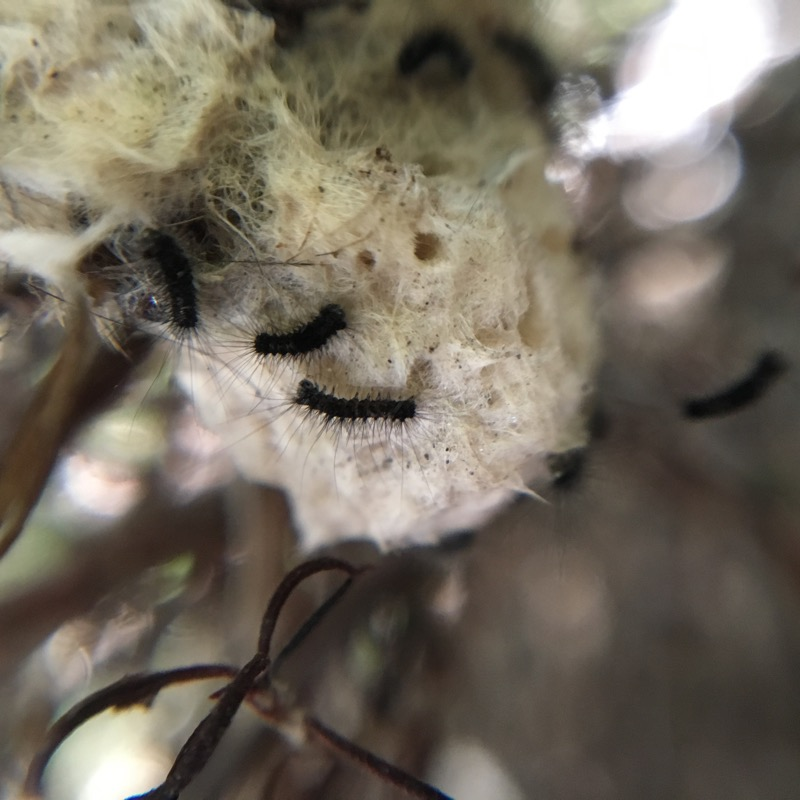 Photo of Western Tussock Moth