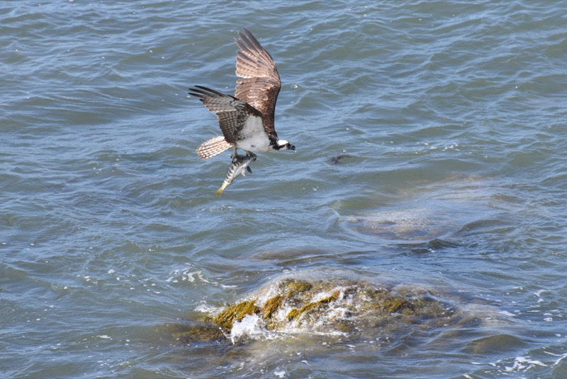 An Osprey (Pandion haliaetus) transporting a recent fish-kill