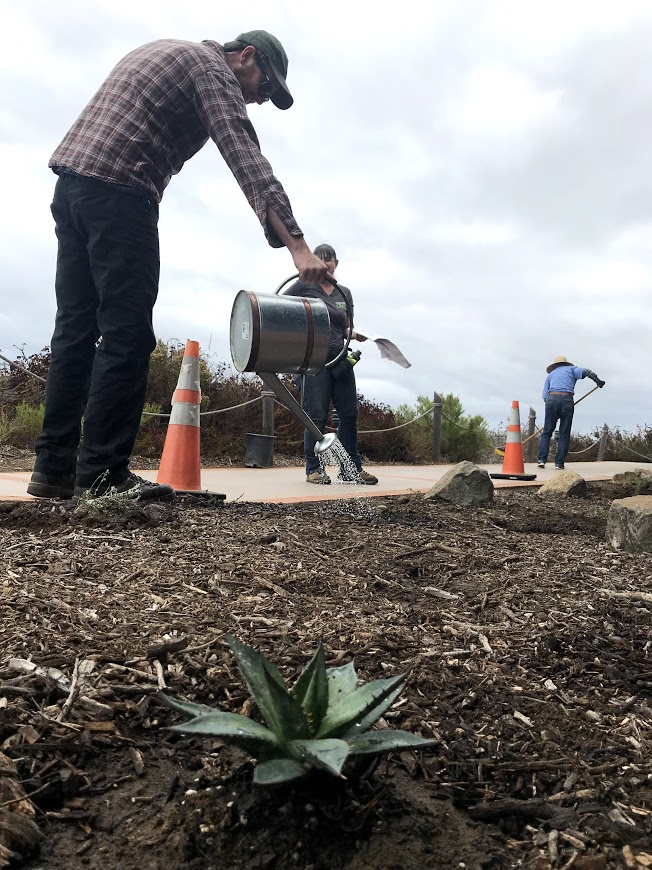 a volunteer using a watering can to water a newly-planted area behind the Visitor Center at Cabrillo National Monument.