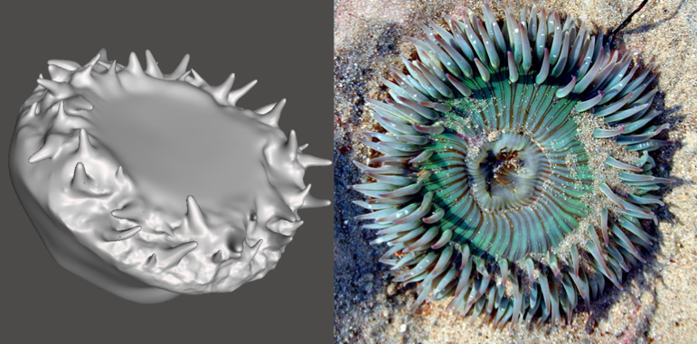 Photo showing 3d model and actual Anemone