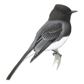 Black Phoebe Image adapted from Audubon.org bird guide