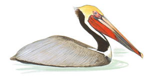 Brown Pelican Image adapted from Audubon.org bird guide