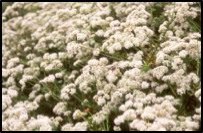 California Flattop Buckwheat