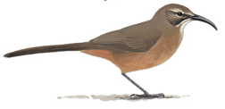 California Thrasher Image adapted from Audubon.org bird guide