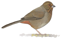 California Towhee Image adapted from Audubon.org bird guide